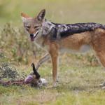South Africa Black-backed jackal