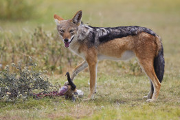 South Africa Black-backed jackal