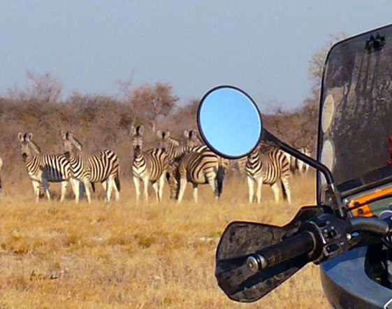 Viewing a herd of zebra on an African Motorcycle Safari.