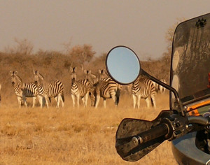 Viewing a herd of zebra on an African Motorcycle Safari