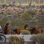 Wild horses on Baja Motorcycle tour