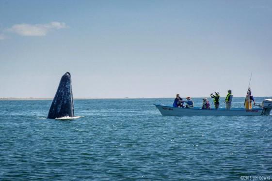 whales in san ignacio lagoon