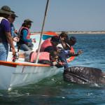 whales san ignacio lagun