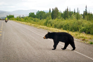 Bear Crossing the Road Central
