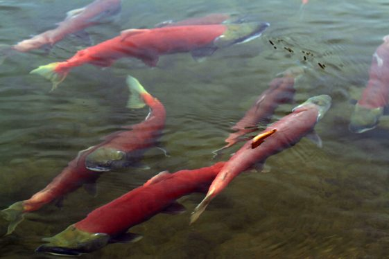 Alaska motorcycle tours salmon spawning