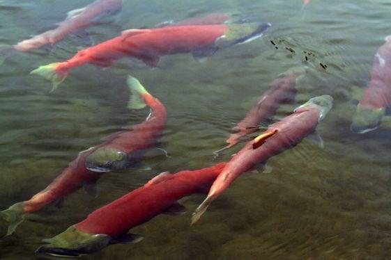 Alaska motorcycle tours salmon spawning