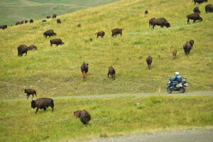Bison on the road Continental Divide Trail