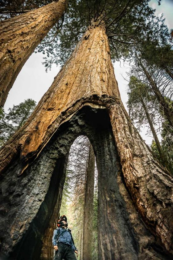 Touching the giant sequoia trees