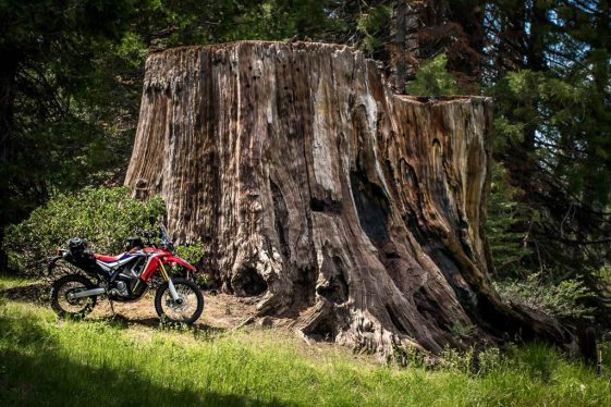 Honda CRF250L Rally parked next to giant sequoia stump.
