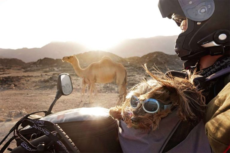 Adventure dogs riding on motorcycles