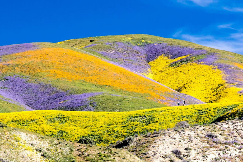 Wildflower bloom at the Carrizo Plain National Monument.