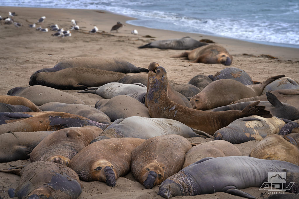 Elephant seals in San Simeon off the Pacific Coast Highway