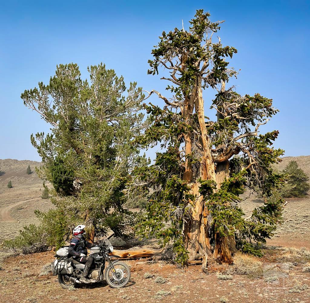 Bristlecone Pine in White Mountains